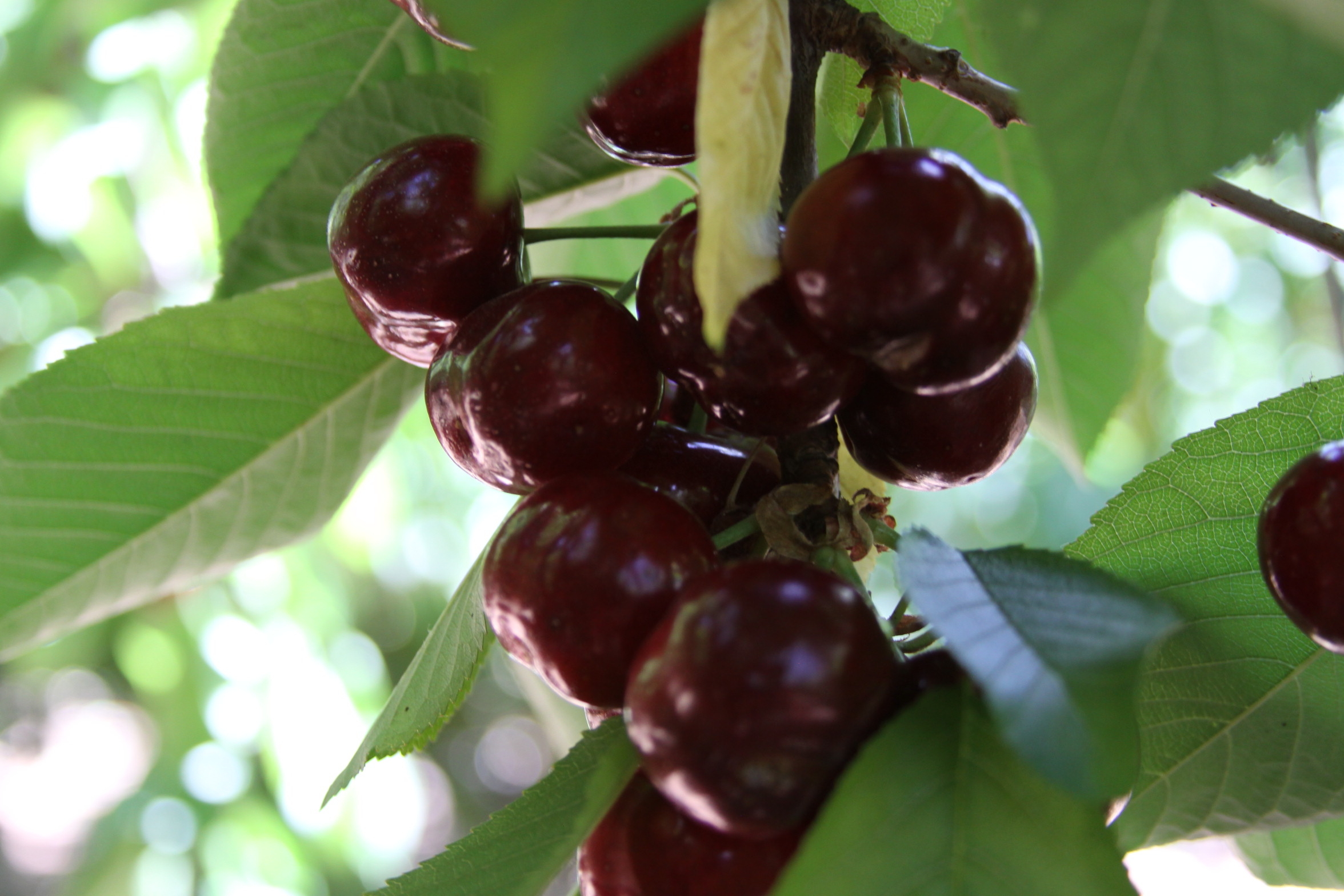 Tart Cherry Juice Lowers Blood Pressure